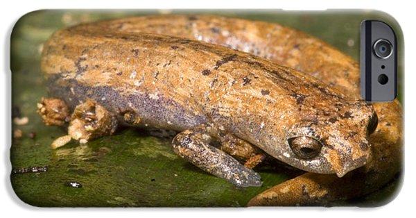 Bolitoglossine Salamander IPhone 6s Case by Dante Fenolio