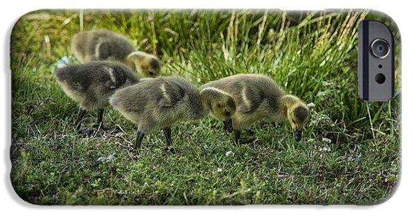 Gosling iPhone 6s Case - Canadian Goose Gosslings by John Greim