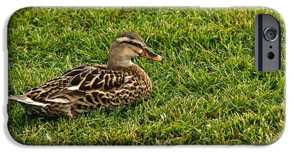 Gosling iPhone 6s Case - Female Mallard Duck by Douglas Barnett