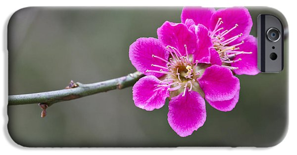 IPhone 6s Case featuring the photograph Japanese Flowering Apricot. by Clare Bambers