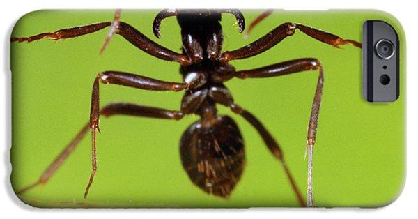 Japanese Slave-making Ant Polyergus IPhone 6s Case by Satoshi Kuribayashi