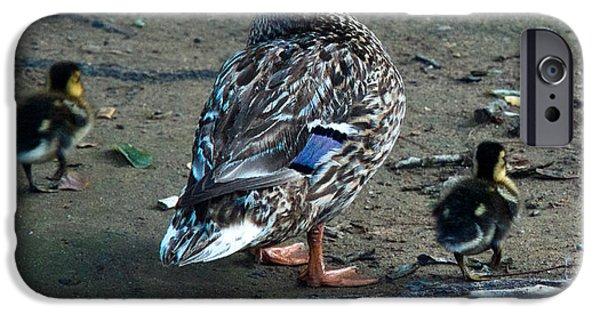 Gosling iPhone 6s Case - Mom And Ducklings by Douglas Barnett