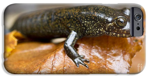 Mountain Dusky Salamander IPhone 6s Case by Dustin K Ryan