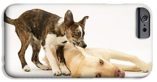 Pup Biting Lab On The Ear IPhone Case by Mark Taylor