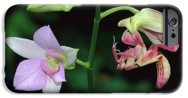 Orchid Mantis Hymenopus Coronatus IPhone 6s Case by Thomas Marent