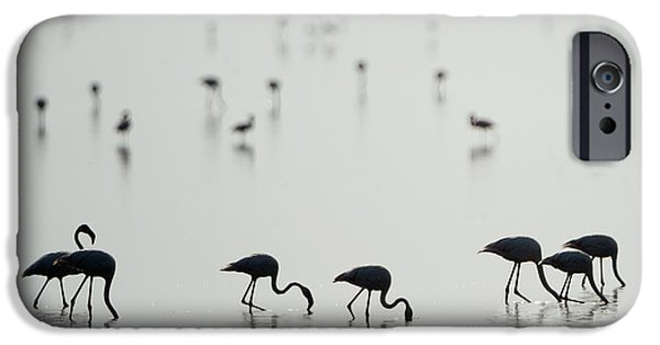 Greater Flamingos Phoenicopterus Roseus IPhone 6s Case