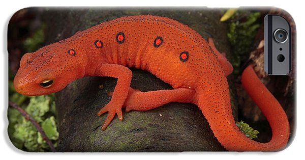 Newts iPhone 6s Case - A Red Eft Crawls On The Forest Floor by George Grall