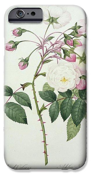 Adelia Aurelianensis IPhone Case by Pierre Joseph Redoute