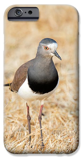 Lapwing iPhone 6s Case - African Wattled Lapwing Vanellus by Panoramic Images