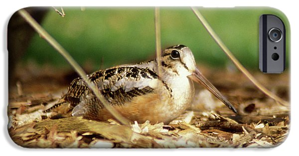 American Woodcock IPhone 6s Case by John Burk