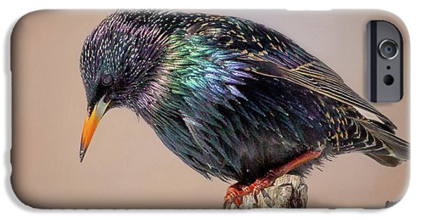 Backyard Birds European Starling Square IPhone 6s Case by Bill Wakeley