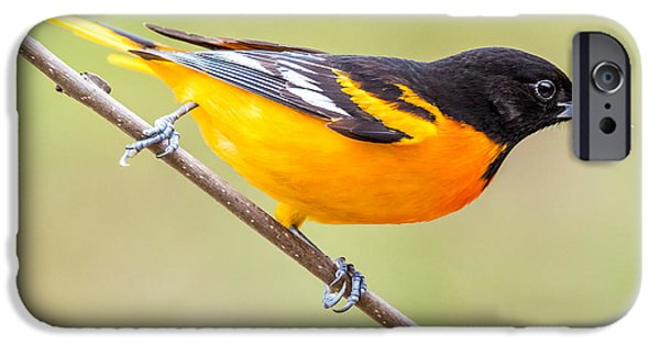 Baltimore Oriole IPhone 6s Case by Paul Freidlund