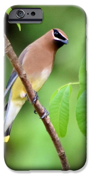 Beautiful Cedar Wax Wing  IPhone 6s Case by Sheri McLeroy