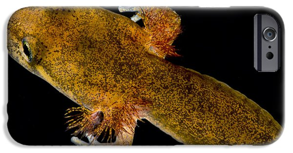 California Giant Salamander Larva IPhone 6s Case by Dant� Fenolio