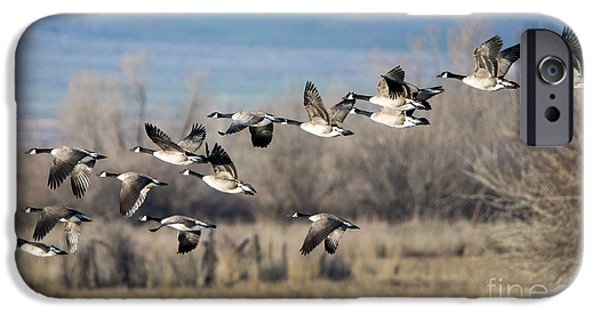 Canada  Geese Flock IPhone 6s Case by Mike Dawson