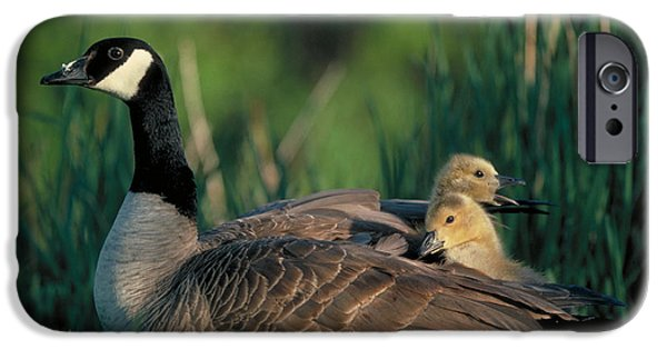 Gosling iPhone 6s Case - Canada Goose With Goslings by Alan and Sandy Carey and Photo Researchers