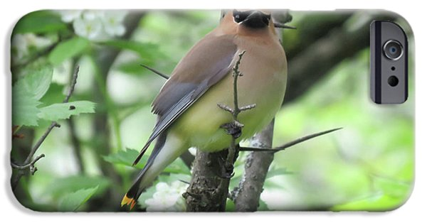 Cedar Wax Wing IPhone 6s Case by Alison Gimpel