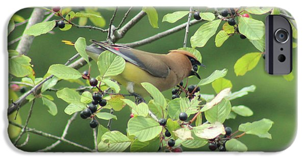 Cedar Waxwing Eating Berries IPhone 6s Case by Maili Page