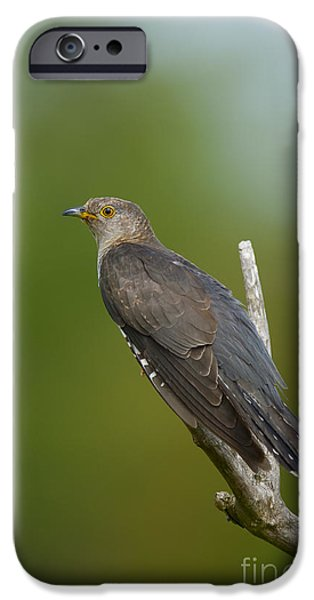 Common Cuckoo IPhone 6s Case by Steen Drozd Lund