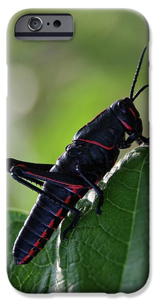 Eastern Lubber Grasshopper IPhone 6s Case by Richard Rizzo