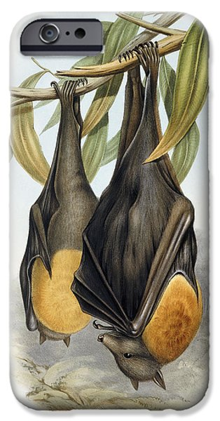 Grey Headed Flying Fox, Pteropus Poliocephalus IPhone 6s Case by John Gould