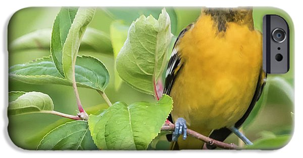 Immature Baltimore Oriole  IPhone 6s Case by Ricky L Jones