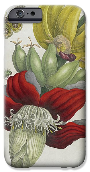 Inflorescence Of Banana, 1705 IPhone 6s Case by Maria Sibylla Graff Merian
