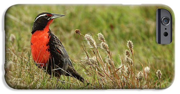 Long-tailed Meadowlark IPhone 6s Case by Bruce J Robinson