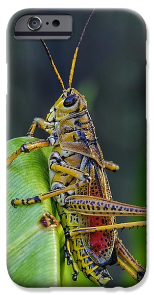 Lubber Grasshopper IPhone 6s Case by Richard Rizzo