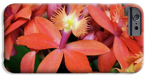 Orange Pink Epidendrum Orchid IPhone 6s Case