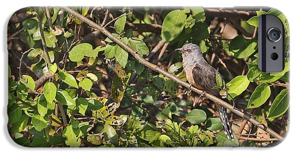 Plaintive Cuckoo IPhone 6s Case by Neil Bowman/FLPA