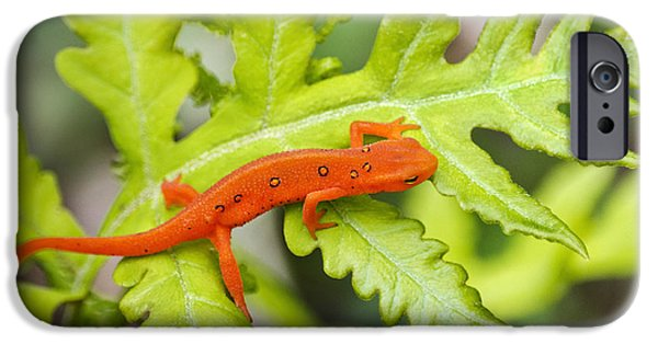 Newts iPhone 6s Case - Red Eft Eastern Newt by Christina Rollo