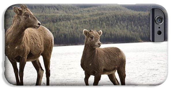 Rocky Mountain Bighorn Sheep iPhone 6s Case - Rocky Mountain Sheep by Mark Duffy