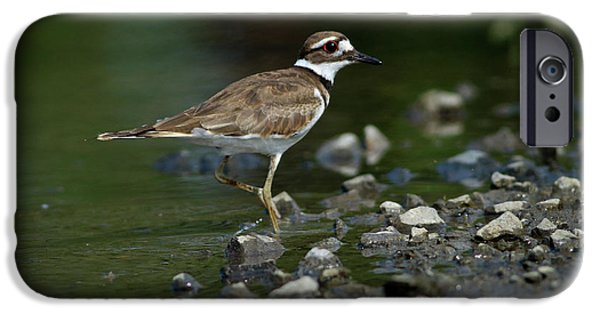 Killdeer  IPhone 6s Case by Douglas Stucky