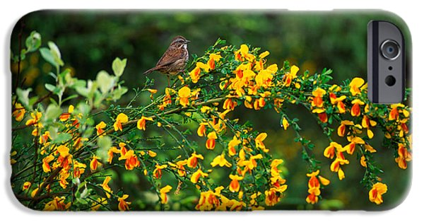 Song Sparrow Bird On Blooming Scotch IPhone 6s Case by Panoramic Images