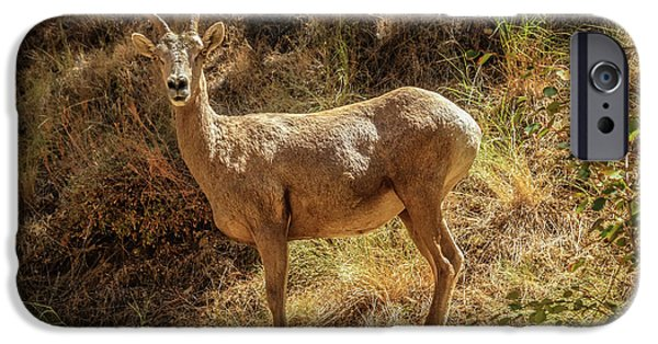 Rocky Mountain Bighorn Sheep iPhone 6s Case - The Argali  by Robert Bales