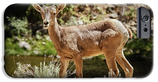 Rocky Mountain Bighorn Sheep iPhone 6s Case - The Cute One by Robert Bales