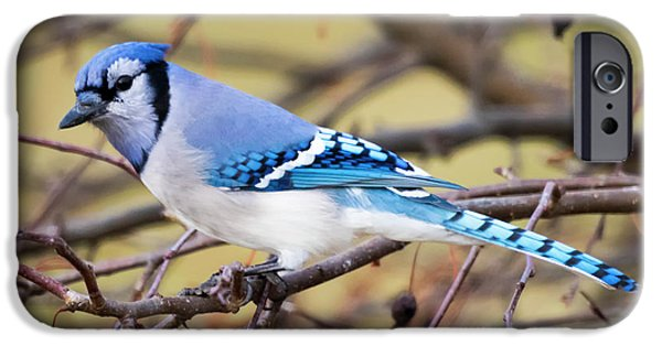 The Winter Blue Jay  IPhone 6s Case by Ricky L Jones