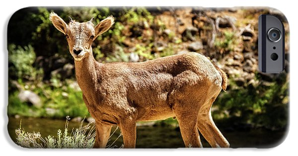 Rocky Mountain Bighorn Sheep iPhone 6s Case - The Young One by Robert Bales