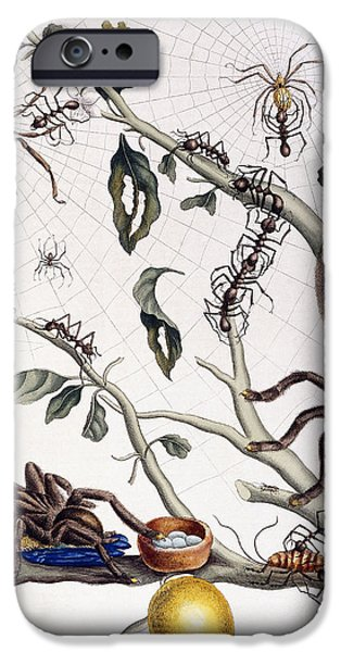 Various Arachnids From South America, 1726  IPhone 6s Case