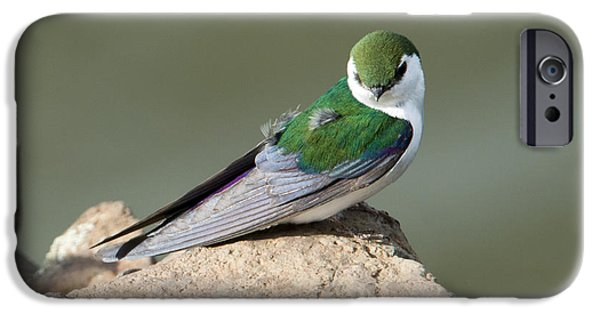 Violet-green Swallow IPhone 6s Case