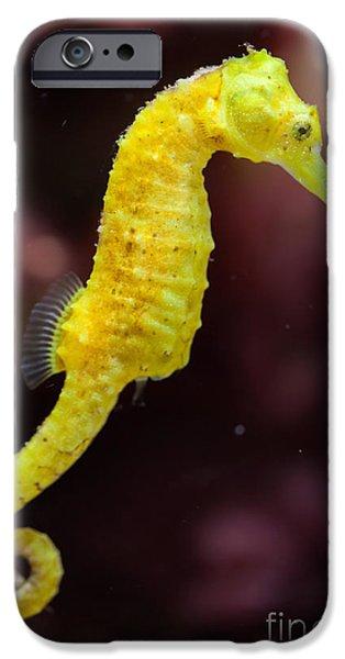 Aquarium iPhone 6s Case - Slender Seahorse Hippocampus Reidi by Vladimir Wrangel