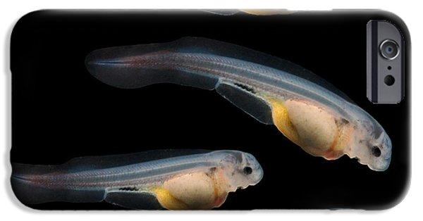 Aquarium iPhone 6s Case - Sturgeon Fingerling 9days Old 10mm by Kletr