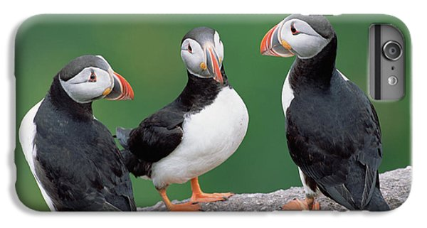 Atlantic Puffin Breeding Colony Canada IPhone 6s Plus Case by