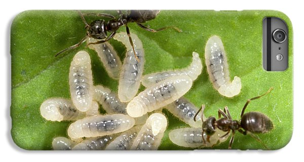 Black Garden Ants Carrying Larvae IPhone 6s Plus Case by Nigel Downer