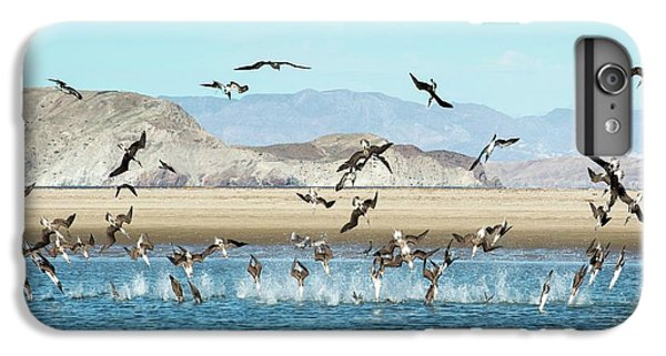 Boobies iPhone 6s Plus Case - Blue-footed Boobies Feeding by Christopher Swann