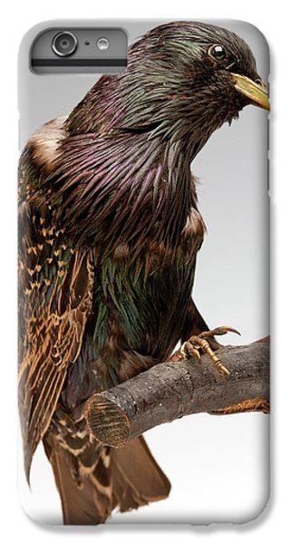 European Starling IPhone 6s Plus Case by Ucl, Grant Museum Of Zoology