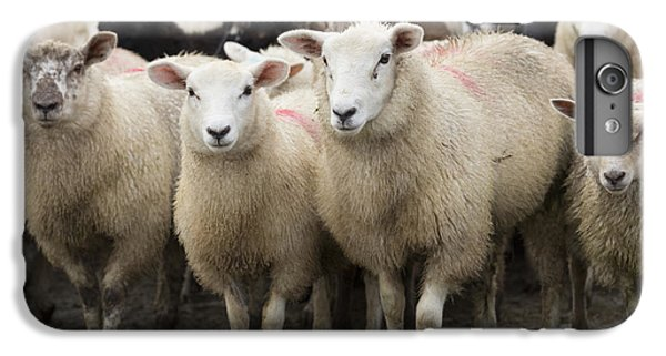 Sheep iPhone 6s Plus Case - Sheep In A Farm Yard by Louise Heusinkveld