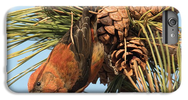 Crossbill IPhone 6s Plus Case by Judd Nathan