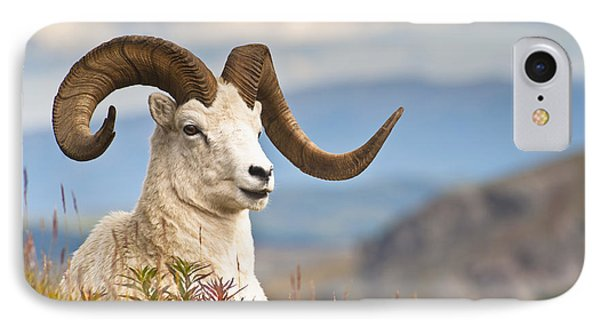 Adult Dall Sheep Ram Resting IPhone Case by Michael Jones